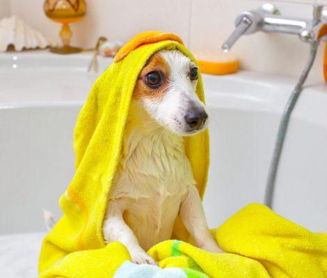 Jack Russell dog taking a bath in a bathtub
